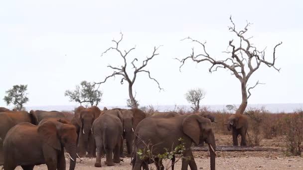 Afrikai bozót elefánt csorda vízastóban aszály idején a Kruger Nemzeti Parkban, Dél-Afrikában; Specie Loxodonta africana elefántfélék családja