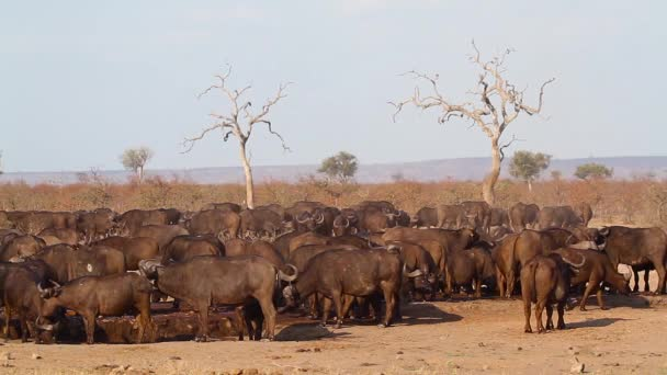 African buffalo herd drinking in waterhole during drought in Kruger National park, South Africa ; Specie Syncerus caffer family of Bovidae