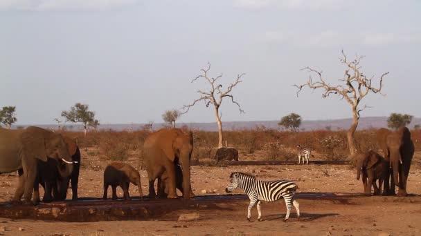 Africký keř slon v vodní díře honí pláně zebra v Kruger National Park, Jižní Afrika; Specie Loxodonta africana rodina Elephantidae