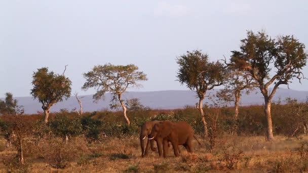 Két fiatal afrikai bokor elefánt harcol a Kruger Nemzeti Parkban, Dél-Afrikában; Specie Loxodonta africana elefántfélék családja