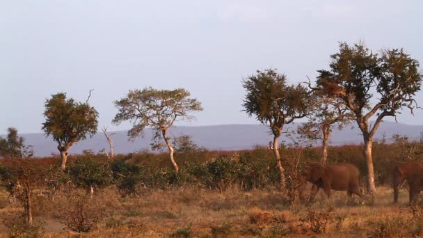 Small group of African bush elephants walking in dry savannah in Kruger National park, South Africa ; Specie Loxodonta africana family of Elephantidae