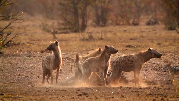 Spotted hyaena and black back jackal scavenging at dawn in Kruger National park, South Africa ; Specie Crocuta crocuta family of Hyaenidae