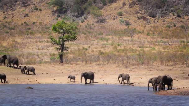 Herd of African bush elephants drinking and bathing in lake in Kruger National park, South Africa ; Specie Loxodonta africana family of Elephantidae