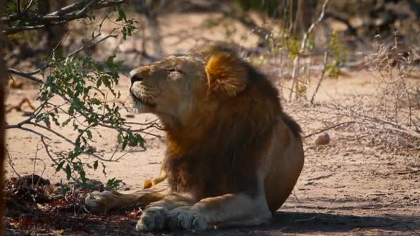 African lion male resting, yawning and grooming in shadow in Kruger National park, South Africa ; Specie Panthera leo family of Felidae