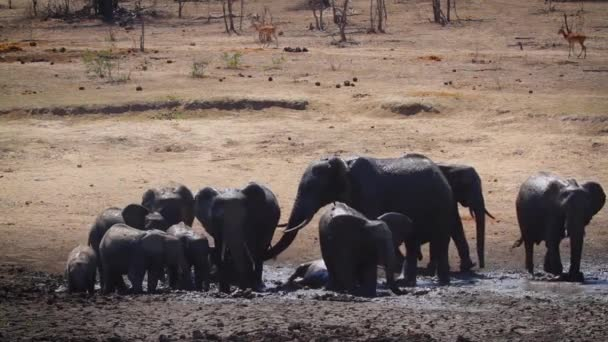 Small group of African bush elephants having mud bath in waterhole in Kruger National park, South Africa ; Specie Loxodonta africana family of Elephantidae