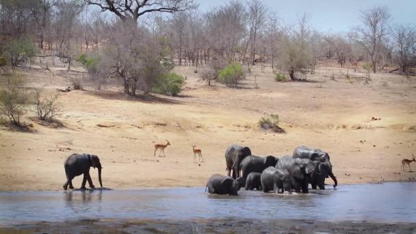 Afrikai bozótos elefántcsorda ivás és fürdőzés a Kruger Nemzeti Parkban (Dél-Afrika); Specie Loxodonta africana Elephantidae család