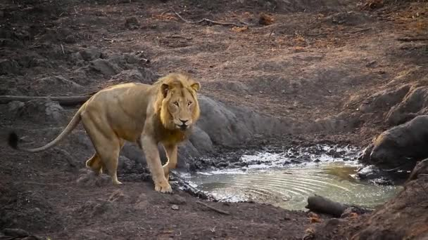 African lion walking after drinking in waterthole in Kruger National park, South Africa ; Specie Panthera leo family of Felidae