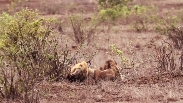 Two African lion male eating a carcass in Kruger National park, South Africa ; Specie Panthera leo family of Felidae