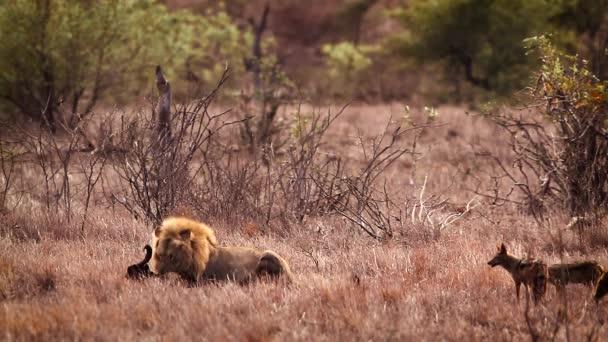 Africký lev samec jíst jatečně upravené tělo před černými šakaly v Kruger National Park, Jižní Afrika; Specie Panthera leo rodina Felidae
