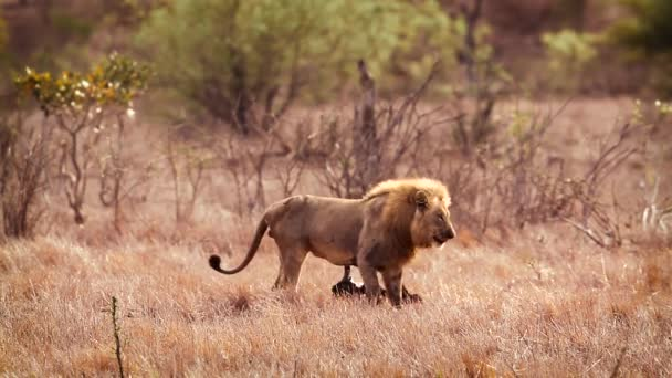 African lion male chasing black back jackal for a carcass in Kruger National park, South Africa ; Specie Panthera leo family of Felidae