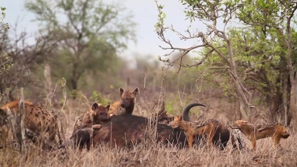 Spotted hyaena and black backed jackal scavenging a buffalo carcass in Kruger National park, South Africa ; Specie Crocuta crocuta family of Hyaenidae
