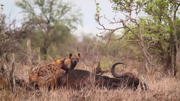 Skvrnitá hyena a šakal s černými hřbety mrchožrouti v Krugerově národním parku v Jižní Africe; druh Crocuta crocuta čeledi Hyaenidae