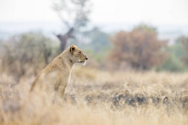 African lioness seated in savanah in Kruger National park, South Africa ; Specie Panthera leo family of Felidae