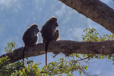 Couple of Chacma baboons seated en trunk in backlit in Kruger National park, South Africa ; Specie Papio ursinus family of Cercopithecidae