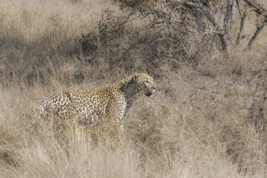 Leopard on the hunt in savannah in Kruger National park, South Africa ; Specie Panthera pardus family of Felidae
