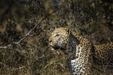 Leopard portrait in the bush in Kruger National park, South Africa ; Specie Panthera pardus family of Felidae