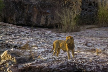 African lion male standing on the rock at dawn in Kruger National park, South Africa ; Specie Panthera leo family of Felidae