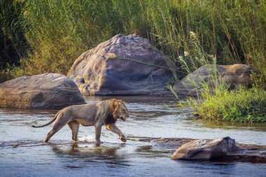 African lion male crossing a river in Kruger National park, South Africa ; Specie Panthera leo family of Felidae