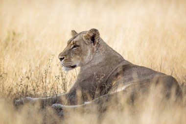 African lioness lying down in savannah grass in Kruger National park, South Africa ; Specie Panthera leo family of Felidae