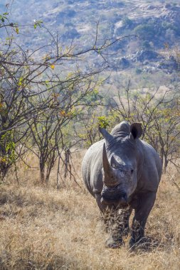 Southern white rhinoceros in savannah in front view in Kruger National park, South Africa ; Specie Ceratotherium simum simum family of Rhinocerotidae
