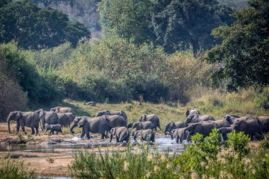 African bush elephant herd crossing river in Kruger National park, South Africa ; Specie Loxodonta africana family of Elephantidae