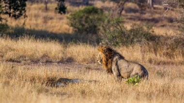 Majestic African lion male meeting lioness in Kruger National park, South Africa ; Specie Panthera leo family of Felidae