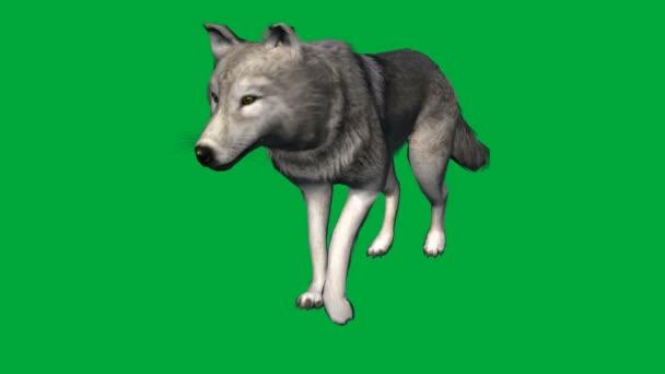 Vlk chůze - záběry zvířat zelená obrazovka