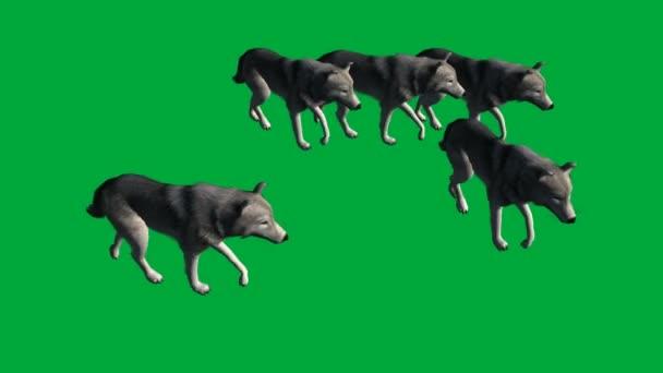 vlky procházka - záběry zvířat zelená obrazovka