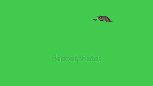 Große amerikanische Waldohreule auf grünen Bildschirm fliegen