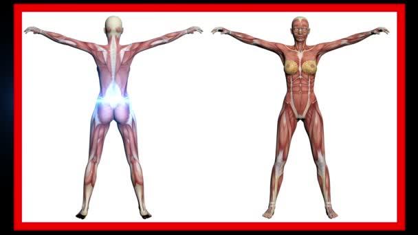 exploración de la anatomía humana, los músculos de la mujer — Vídeo ...