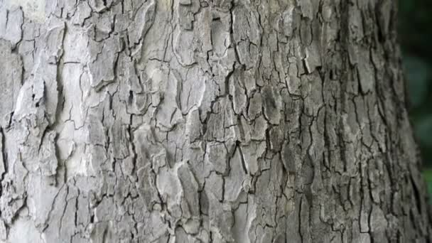 bark of oak tree close up