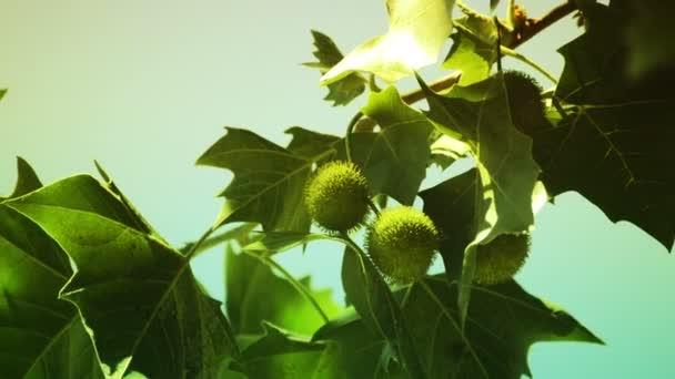 A spiny shells fruits of Sweet Chestnut tree (Castanea sativa)