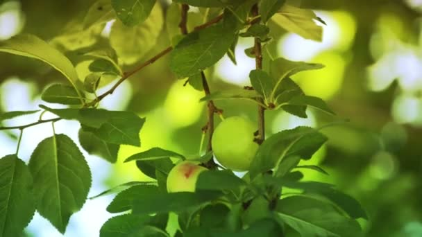 Green apples on apple tree branch