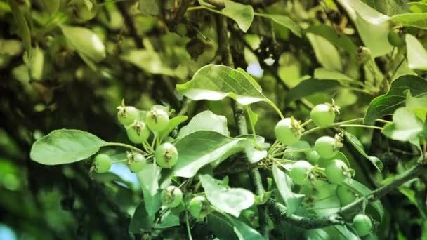 Zöld alma Alma fa ága