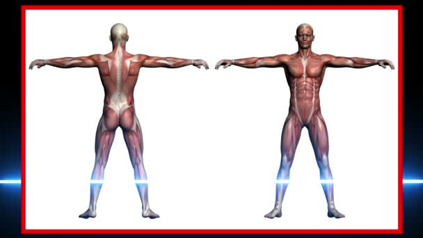 männliche Muskeln - 3D-Darstellung--