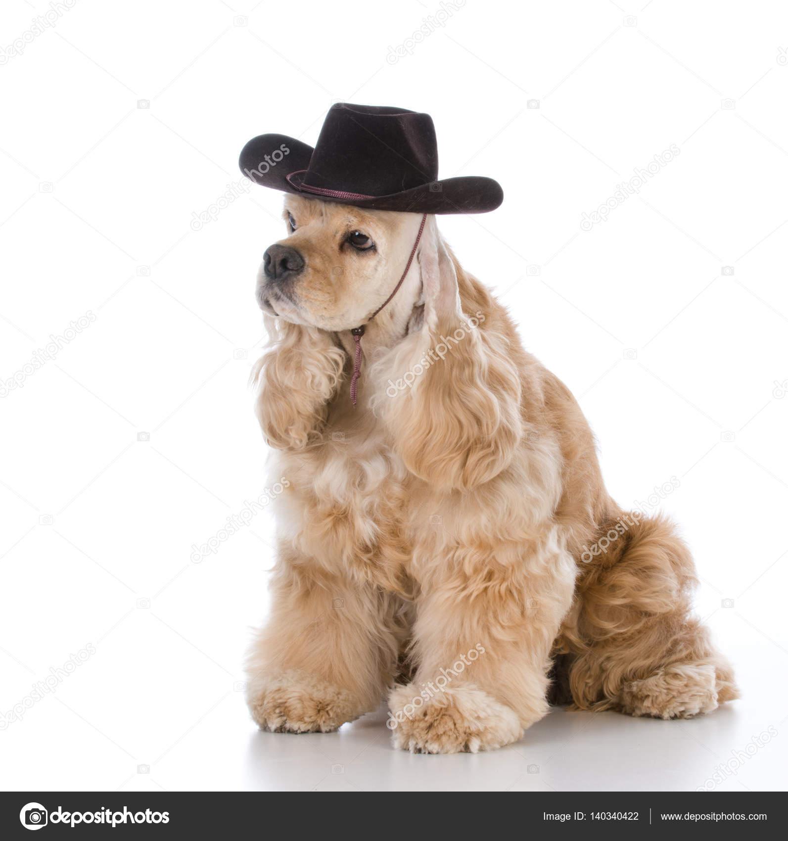 0c2c4b6e73565 Spanile Cocker con sombrero occidental sobre fondo blanco - sombreros  vaqueros para perros — Foto de willeecole — Foto de ...