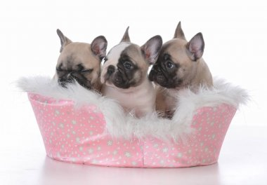 Litter of french bulldog puppies in a pink dog bed on white background stock vector
