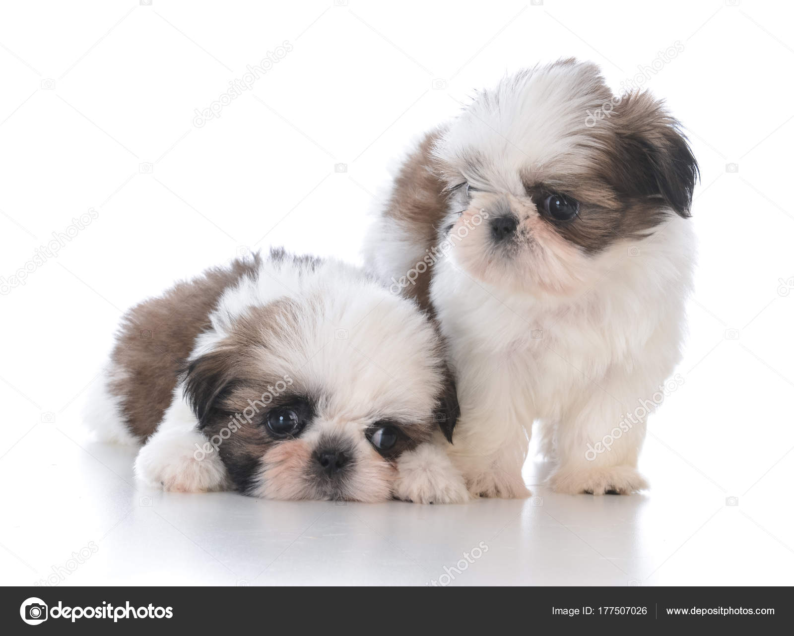 Two Shih Tzu Puppy Litter Mates Stock Photo Willeecole 177507026