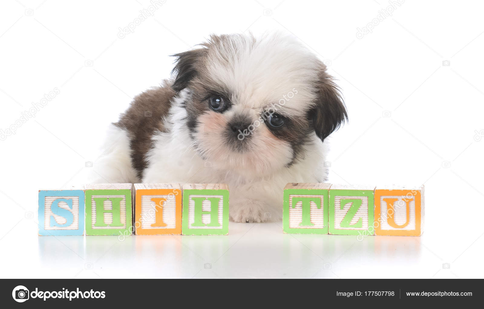 Cute Shih Tzu Puppy With Block Letters Stock Photo Willeecole