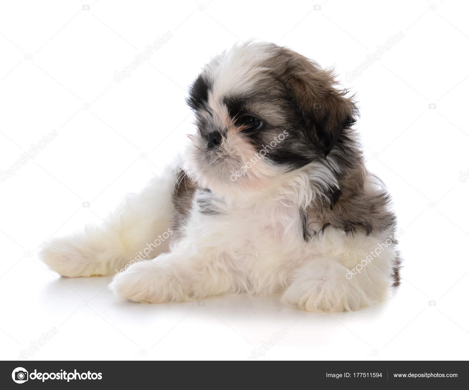 Cute Male Shih Tzu Puppy Sitting Stock Photo Willeecole 177511594