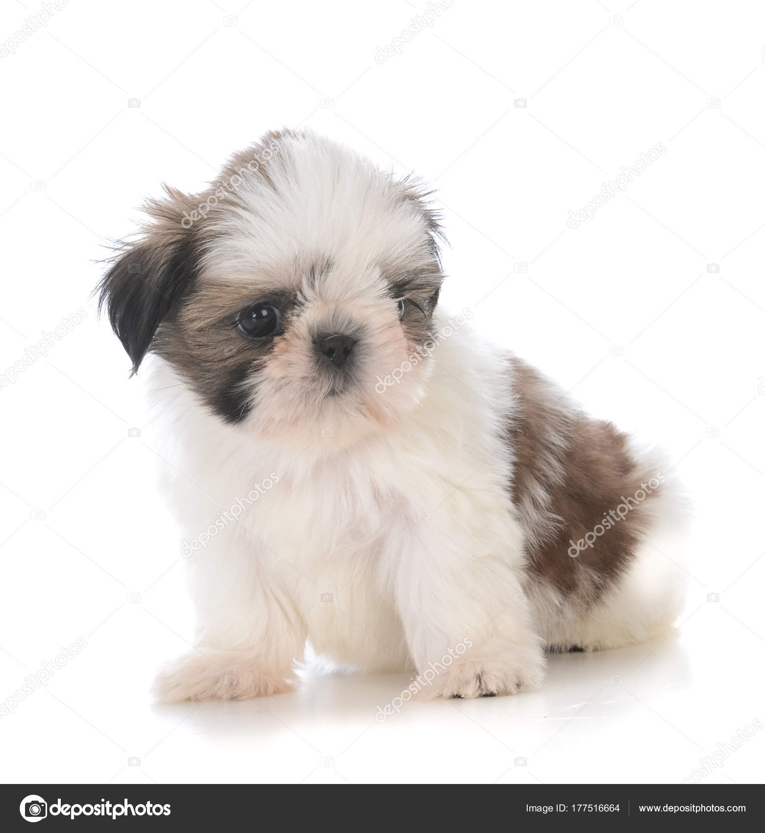 Cute Shih Tzu Puppy Sitting Stock Photo Willeecole 177516664