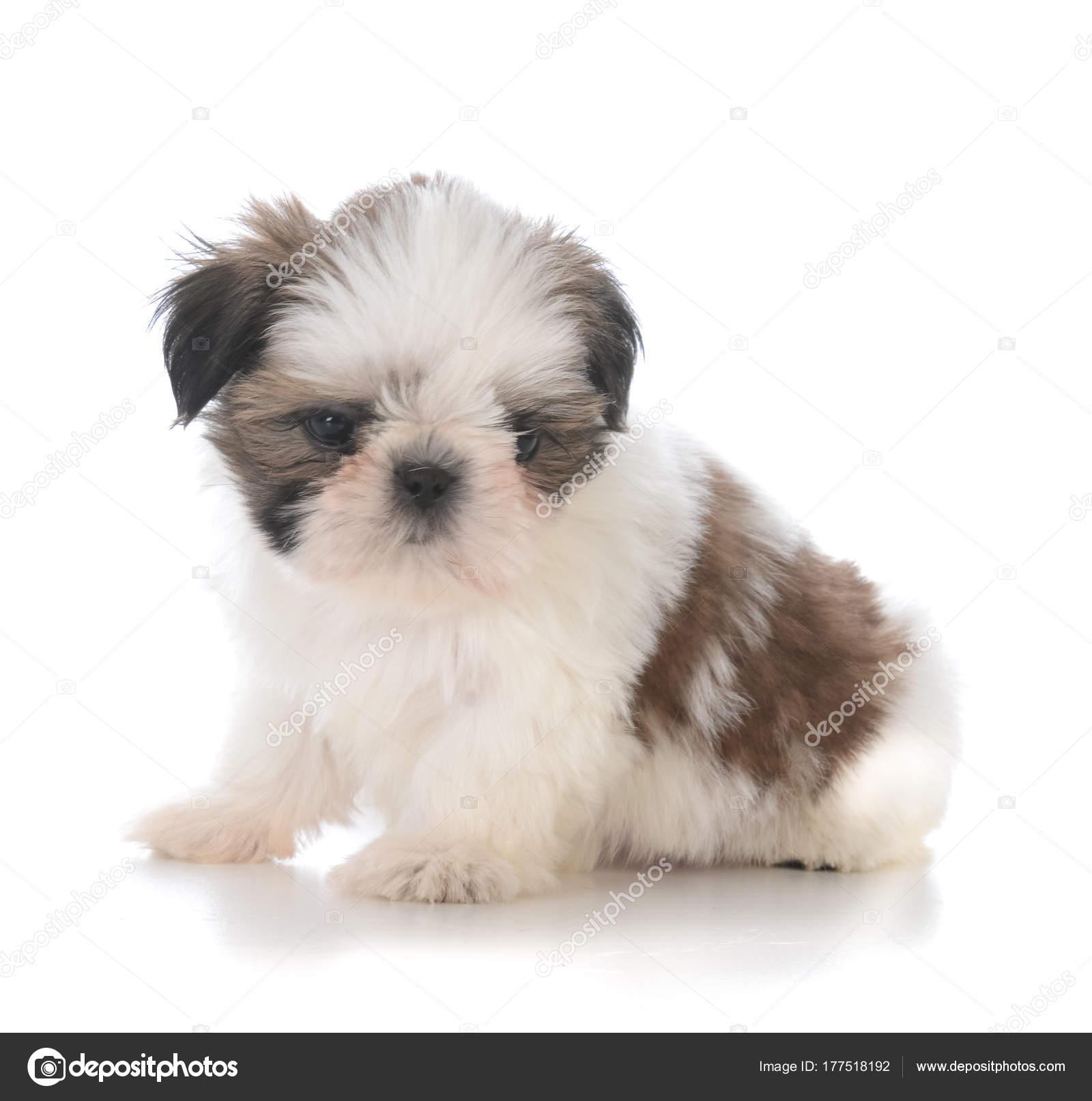 Cute Shih Tzu Puppy Sitting Stock Photo C Willeecole 177518192