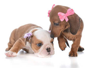 Dachshund and bulldog female pups isolated on white background stock vector