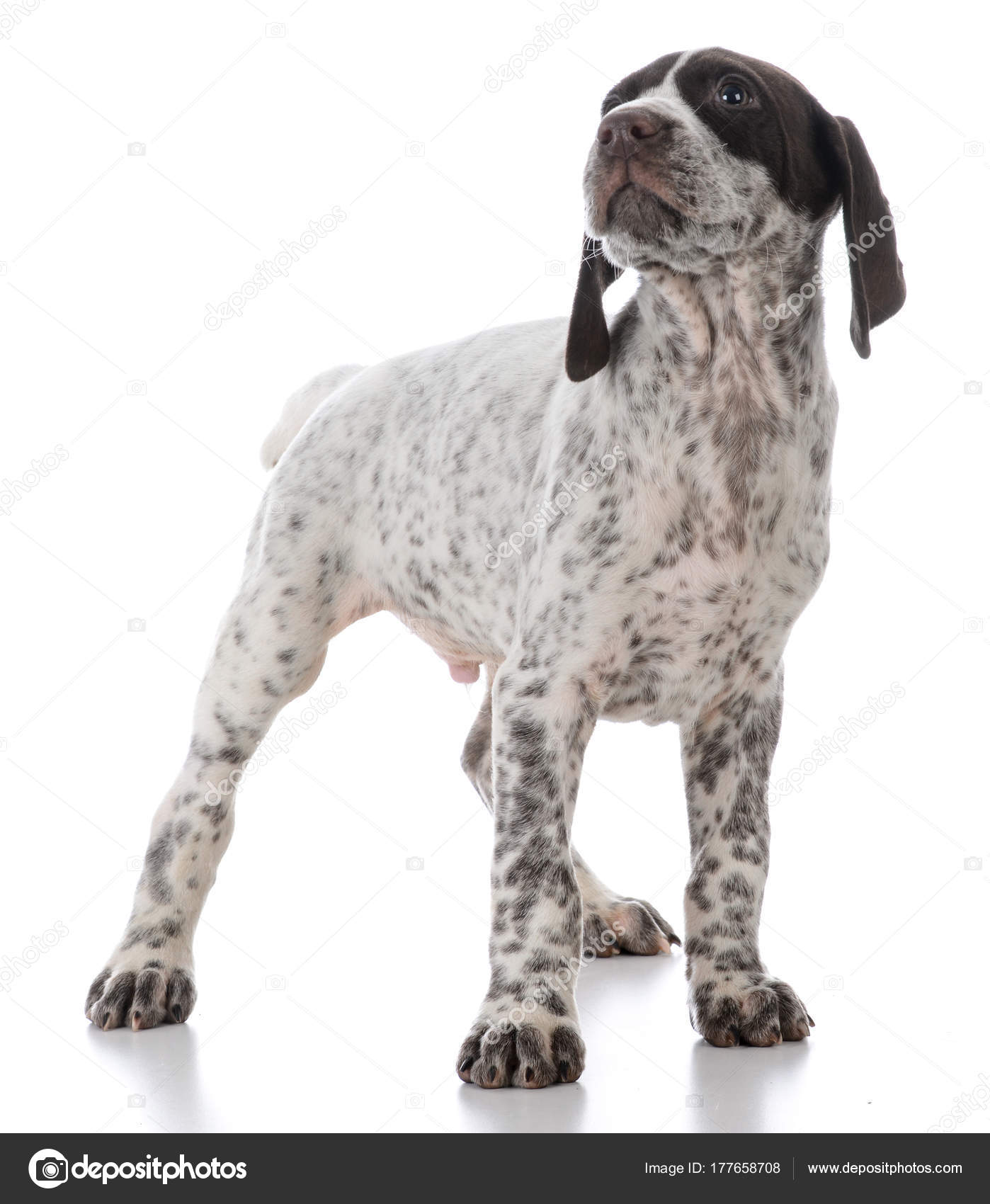 german shorthaired pointer puppy — Stock Photo © willeecole #177658708