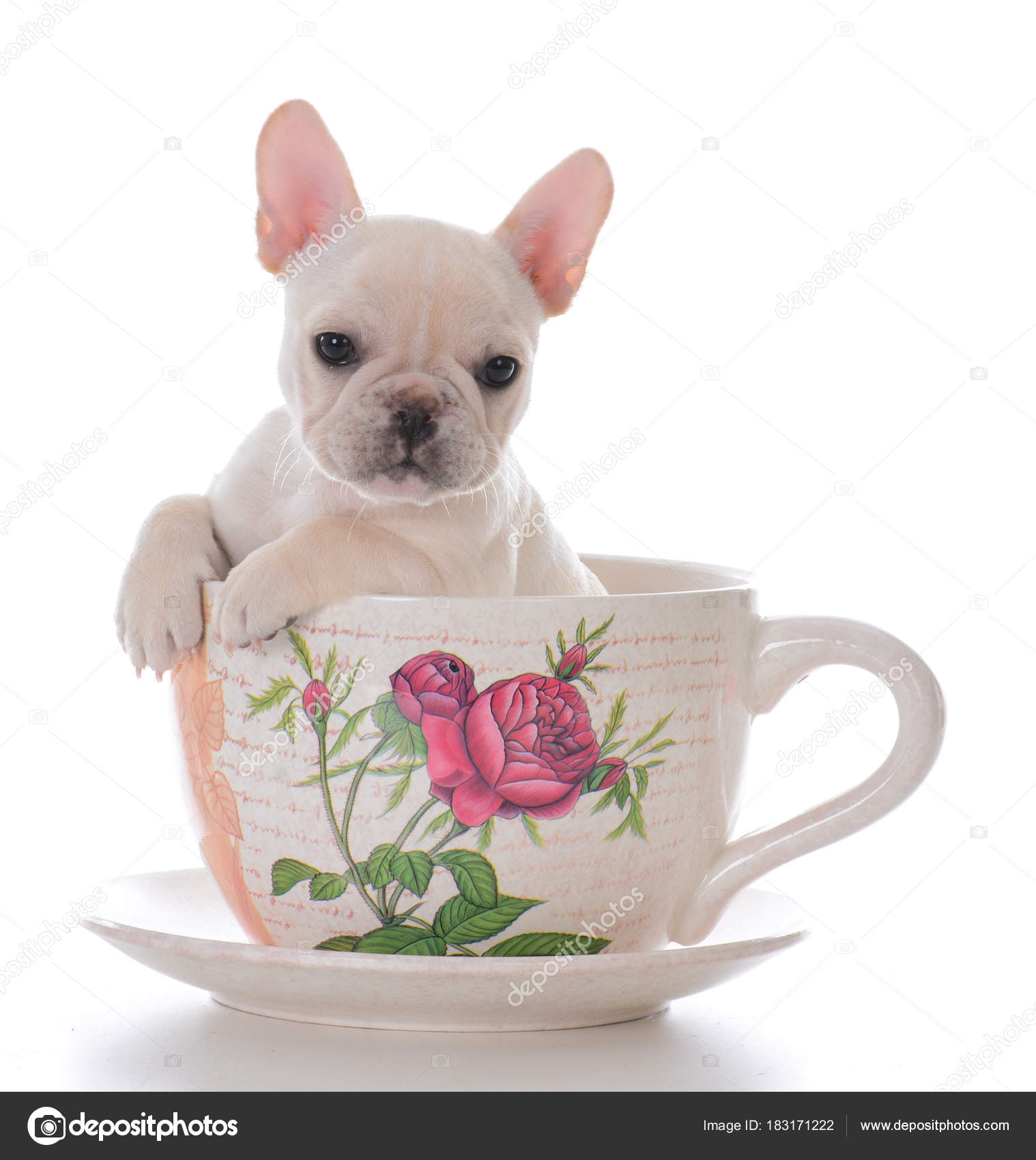 Female French Bulldog Sitting Teacup Stock Photo Willeecole