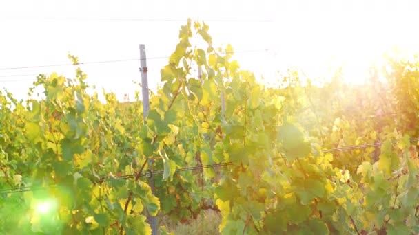 Hezká mladá žena tančí v vinice při západu slunce