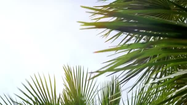 Sunny palm tree against blue sky. Palm tree in gentle tropical breeze