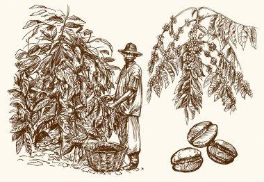 Coffee farmer picking coffee beans on coffee tree.