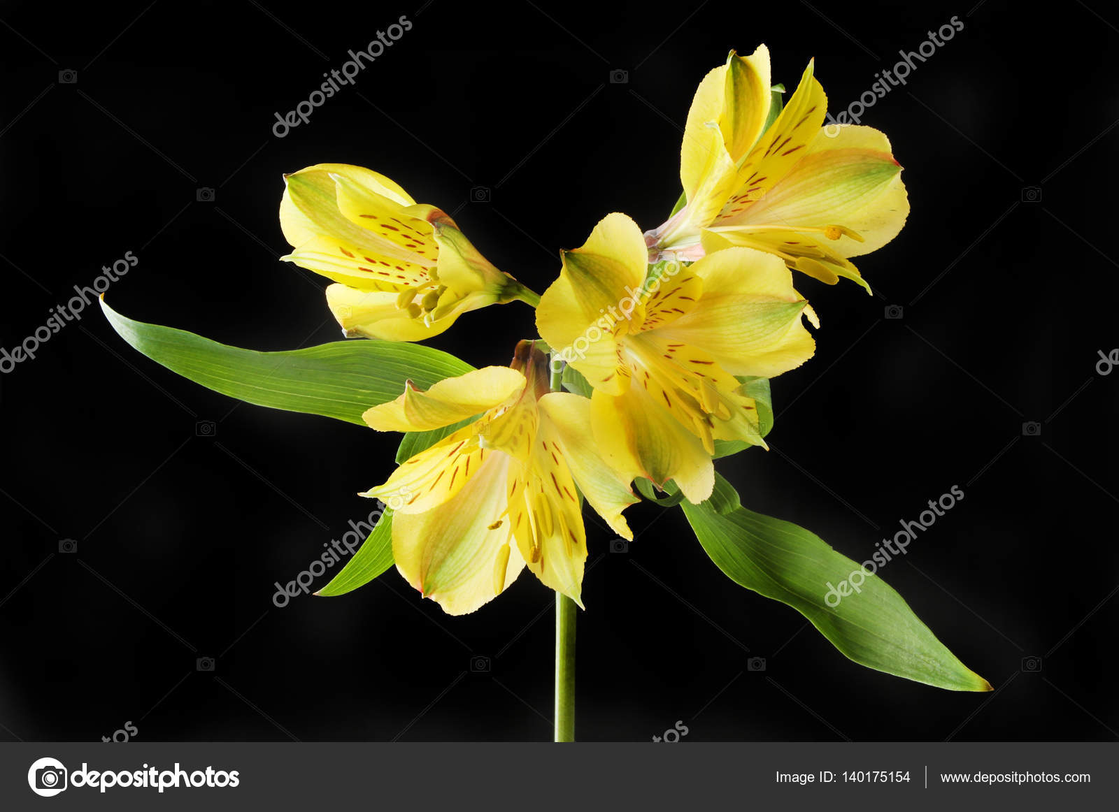 Peruvian lily flowers stock photo griffin024 140175154 alstroemeria peruvian lily flowers and foliage isolated against black photo by griffin024 izmirmasajfo