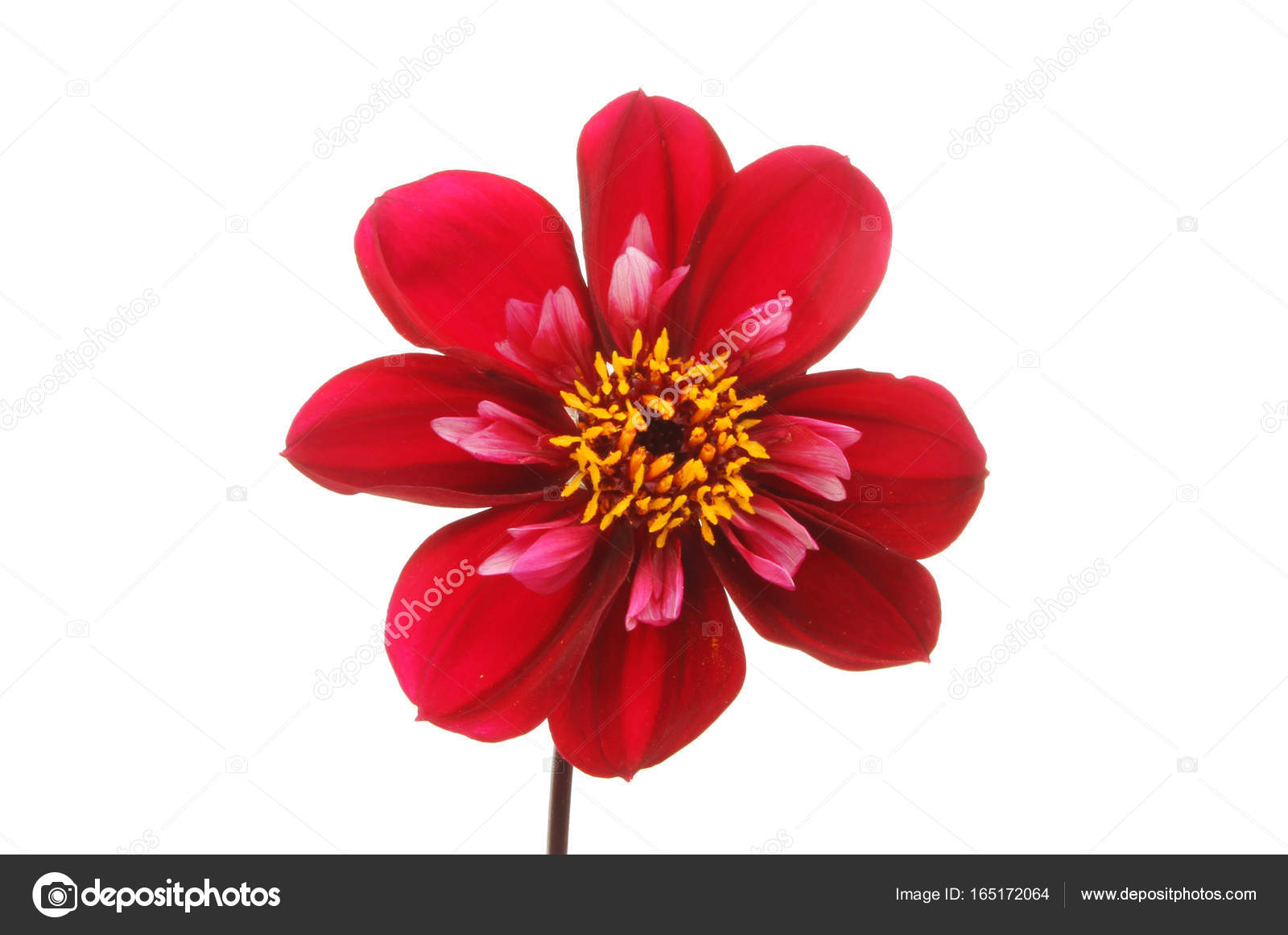 Deep Red Dahlia Stock Photo Griffin024 165172064